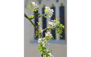 The Holy Thorn in blossom, Glastonbury Abbey (© Glastonbury Abbey)