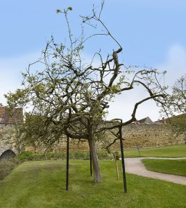 The Holy Thorn at the Abbey