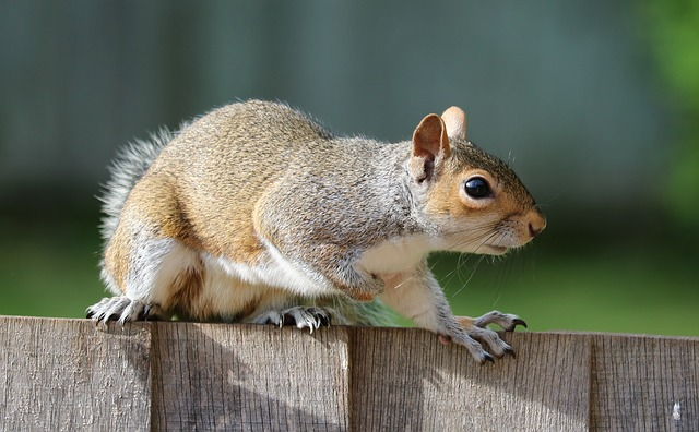 squirrel Medicine In Early Modern England