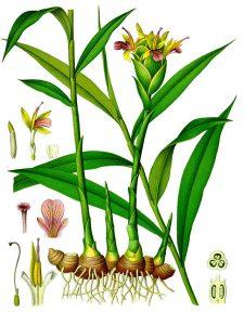 Botanical art - plant of Zingiber officinale (Ginger) showing rhizome, leaves and flowers.