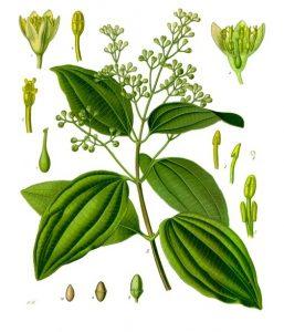 Botanical illustration showing leaves, stems, flowers