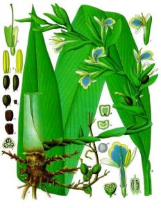 Botanical illustration showing leaves, rhizomes, flowers and fruit