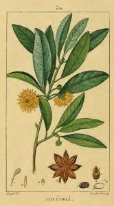 Botanical illustration showing stem, leaves, flowers and fruit