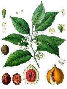 Botanical illustration showing leaves, stems, flowers and fruit