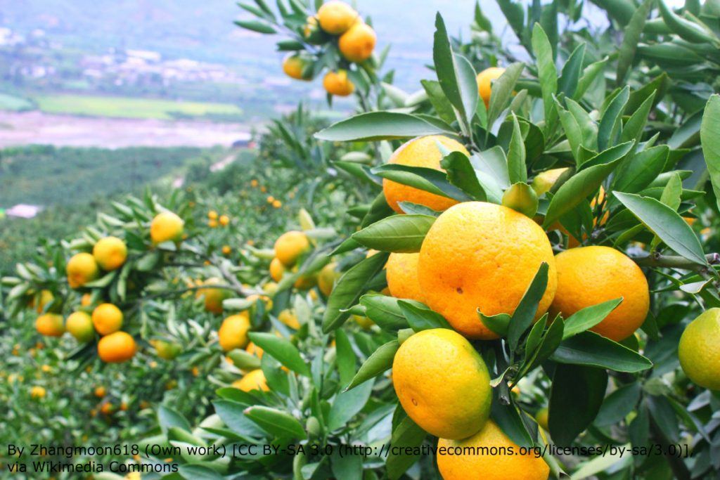 Tangerine trees in fruit