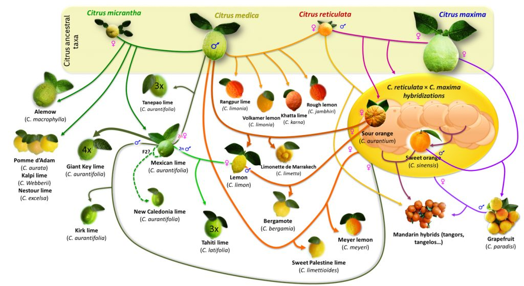 images of citrus fruits connected by arrows to show hybridization history