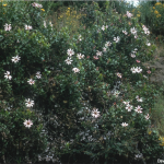 Mutisia spinosa