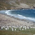 Gentoo Penguins Colony,