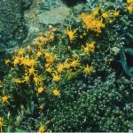 Nardophyllum obtusifolium
