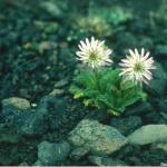 Perezia megalantha