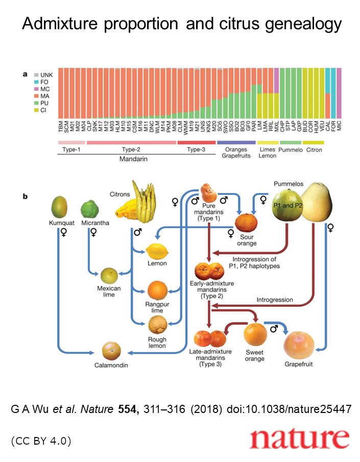 An illustration of the relationships among citrus species and the proportion of genetic contribution from each ancestor to derived modern citrus.