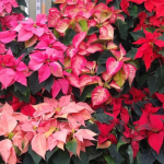 A display of Poinsettia with their coloured bracts in red, pink and white