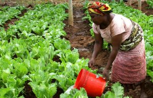 Smallholder farmer watering crops using bucket