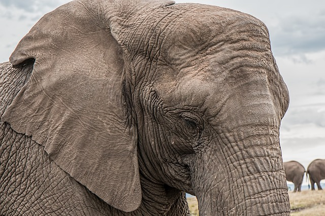 'Too many elephants' in Africa? Here's how peaceful coexistence with human communities can help