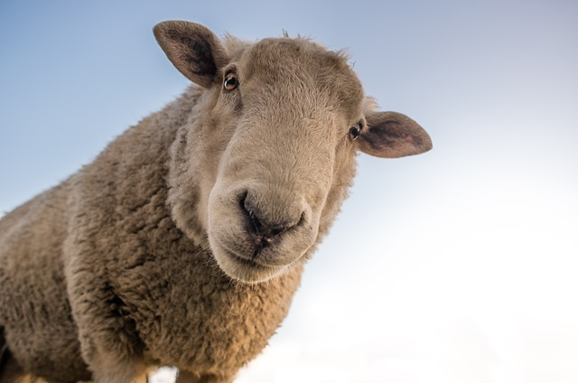 'I, Sheep': a woolly perspective on the world